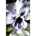 stlouis missouri us flower macro pansies violet portable garden mine 0528510