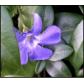 lesserperiwinkle flower green blue