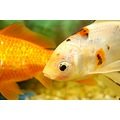 Goldfish Wildlife Orange Water Tank Fish