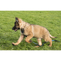 dog puppy gsd german shepherd cute animal nature jaroslavas alsatian