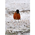 robin winter birds snow ice outdoors swampaddy lake
