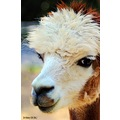 Alpaca wildlife animal Pankey Wildspirit