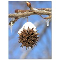 sweetgumball seed tree snow