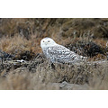 Owl Harrier Delta BC Birds Snowy ShortEared