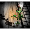 This was a pink rose and I tuned it with the focal black and white, then dropped in the shadows t...