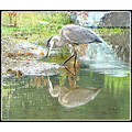 reflectionthursday great blue heron nature