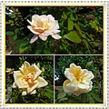 roses blossoming parc autumn collage