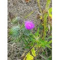 a thistle for me from Ro