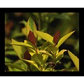 nature garden plant foliage leaf leaves spiraea