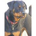 rottweiler dog canine animal family pet