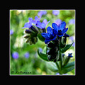anchusa flower macro summer