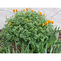 poppy poppies wildflowers garden gardenfph spring