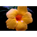 zespook lucknow india alamanda yellow