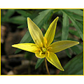 yellowdogtoothviolet yellowtroutlily flower