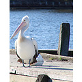 bird pelican pontoon swan river perth littleollie