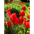 red green tulips