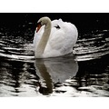 Mute Swan Bird Birds Animals Wildilfe Nature Water Loch White