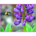nature bee lupins