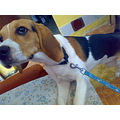 beagle little dog puppy sweet