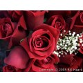 stlouis red rose roses flower flowers mo missouri springbook