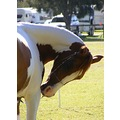 partbred arabian horse scratching equine animal showhorse