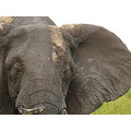 Wildlife Elephant Kenya MasaiMara Animals Nature