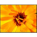 flower flowers macro marigold orange englishrose nature mmmstreaker