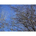 erian sweden hawthorn blue sky winter