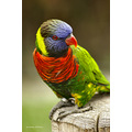 Long Beach Aquarium Lorikeet Pankey Wildspirit