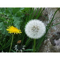 dandelion flowers yellow white green
