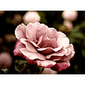 California floral flowers rose macro pink romantic love friendship