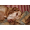 Animals Dogs Vizsla Olddog