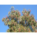 tree bluesky peppertree nature naturefph