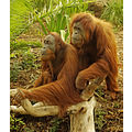 Orang Utan monkey primate ape simian animal mammal nature wildlife