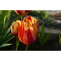 tulip series flower hetka