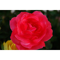 flower rose red yellow garden romatic sensation