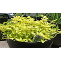 golden oregano green plant spice