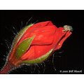 stlouis missouri us usa plant flower buds bug macro red geranium 062110