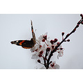 red admiral prunus wildlife