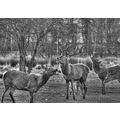 deer stag lotherton hall leeds animals blackwhite