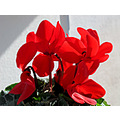 red backlight Cyclamen garden home Alora