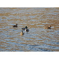 week 3 small flock mallard ducks colors naugatuck river