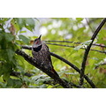 NorthernFlicker Flicker Burnaby BC Canada Birds