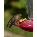 bird hummingbird rufous california