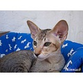 Oriental Shorthair Cat chocolatespottedtabby