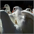 birds nature animals pigeons