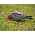 bird galahs feeding city beach perth littleollie