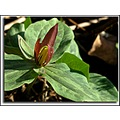 wakerobin sessiletrillium wildflower magenta nature