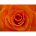 flowers rose closeup