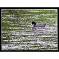 Coot reflectionthursday